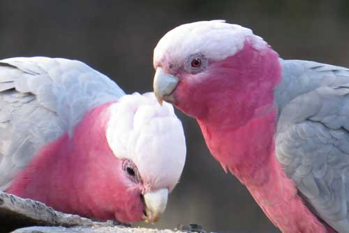 Galah Couple